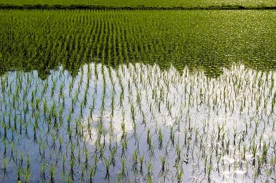 A arrozal red