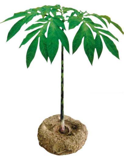 A planta konjac dibujo 2